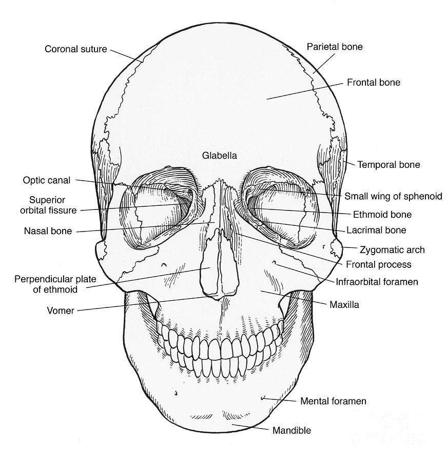 cranium skeletal system diagram labeled