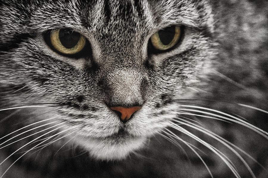 Attentive Cat In Black And White With Color Eyes
