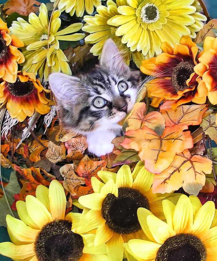 Free Fall Harvest Desktop Wallpaper Baby Kitty Cat Munching Fall Leaves Cute Kitten In