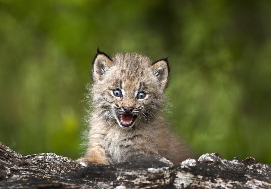 Cute Funny Babies Hd Wallpapers Baby Lynx Photograph By Richard Wear