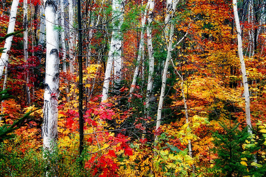 Falling Money Wallpaper Hd Birch Trees With Colorful Fall Foliage By George Oze