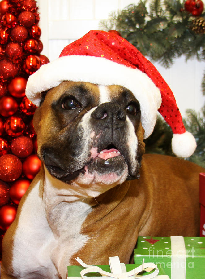 Puppies And Fall Wallpaper Christmas Portraits Boxer Photograph By Renae Crevalle