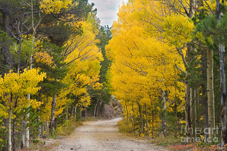 Fall Trees Iphone Wallpaper Colorado Autumn Aspen Road Boulder County Photograph By