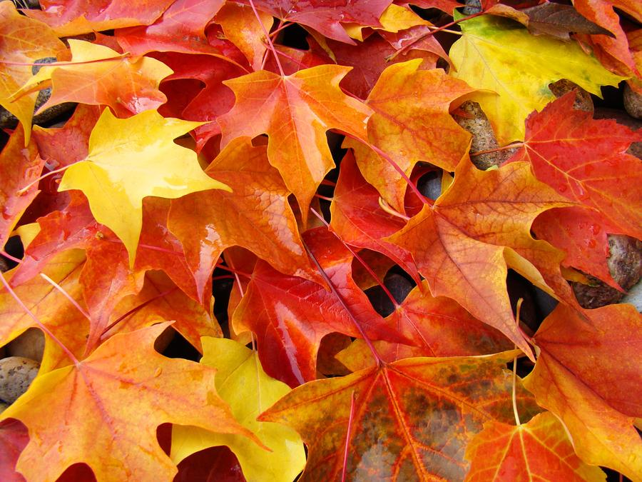 Hd Wallpaper Texture Fall Harvest Fall Art Prints Red Orange Yellow Autumn Leaves Baslee