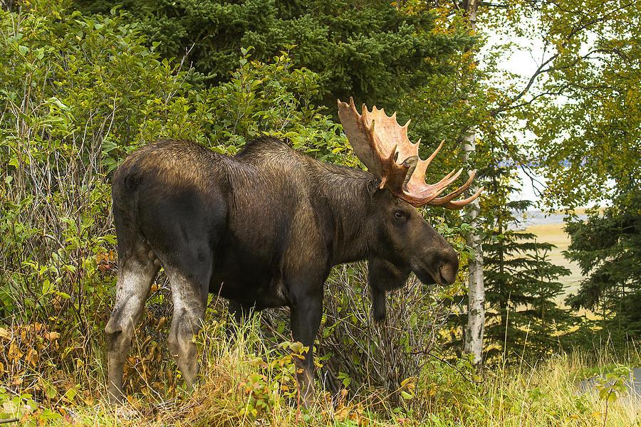 Fall Scene Wallpaper For Iphone Fall Bull Moose Photograph By Doug Lloyd