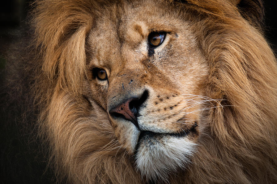 Lion Live Wallpaper Iphone Leo Male Lion Head Angled Close Up Photograph By Ruth