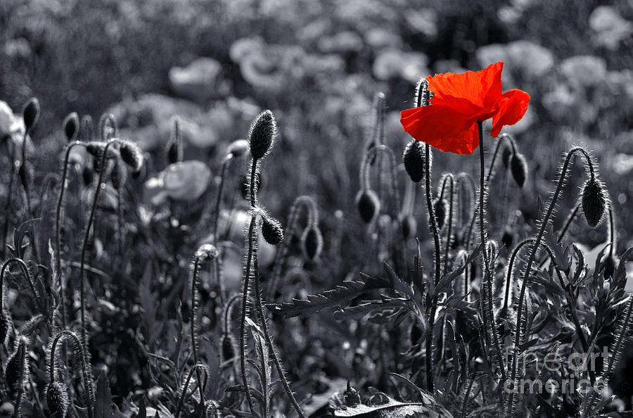 Poppy Wallpaper For Iphone Lest We Forget Photograph By Serena Bowles