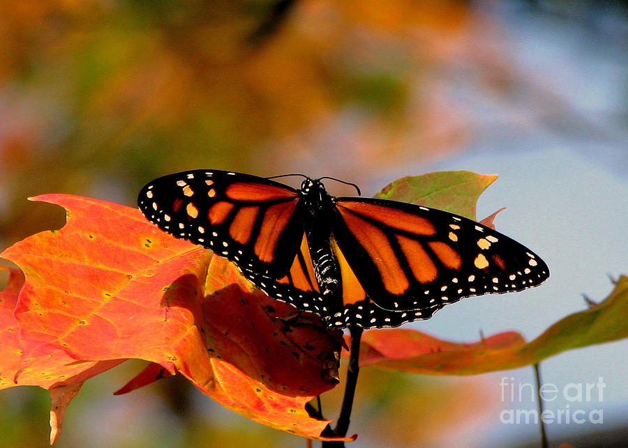 Fall Pumpkin Iphone Wallpaper Monarch Butterfly In Autumn Forest Photograph By Inspired