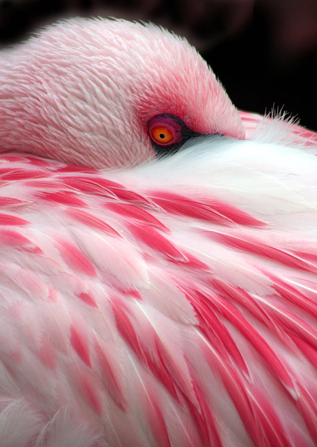 Chargers Iphone Wallpaper Pink Flamingo Photograph By J Michael Elliott