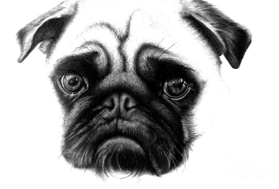 Pug Iphone Wallpaper Realistic Pencil Drawing Of A Pug Dog Drawing By Debbie Engel