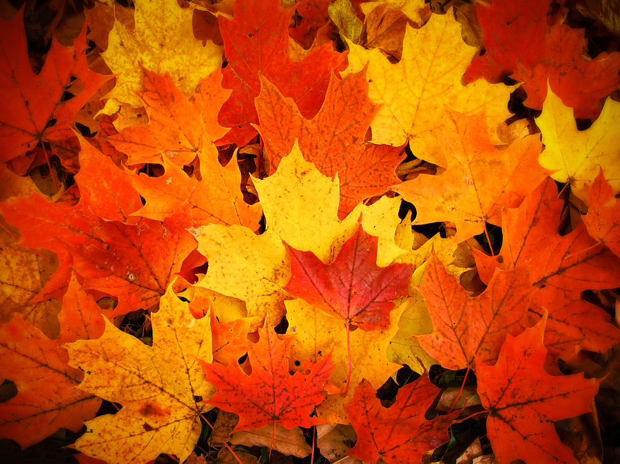 Free Fall Pumpkin Wallpaper Red Yellow And Orange Fallen Maple Leaves Photograph By