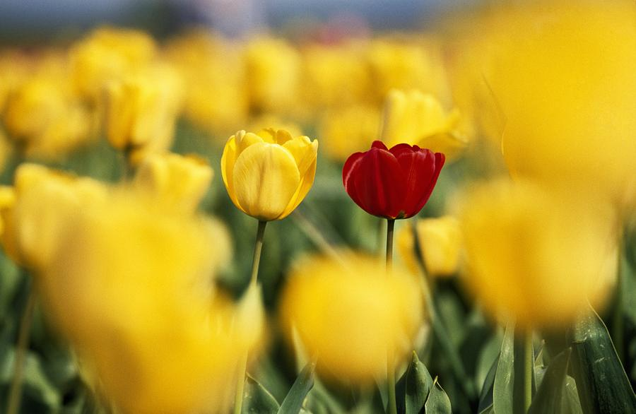 Happy Mothers Day Hd Wallpaper Single Red Tulip Among Yellow Tulips Photograph By Natural