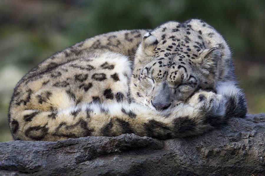 Wallpaper Hd Cute For Men Sleeping Leopard Photograph By Gordon Donovan