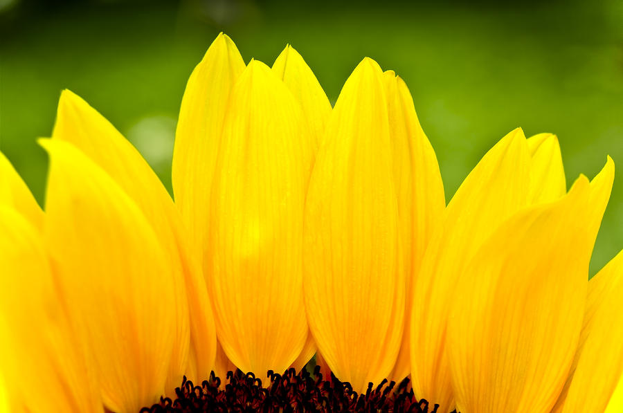 Sunflower Iphone Wallpaper Sunflower Petals Photograph By Joe Carini Printscapes