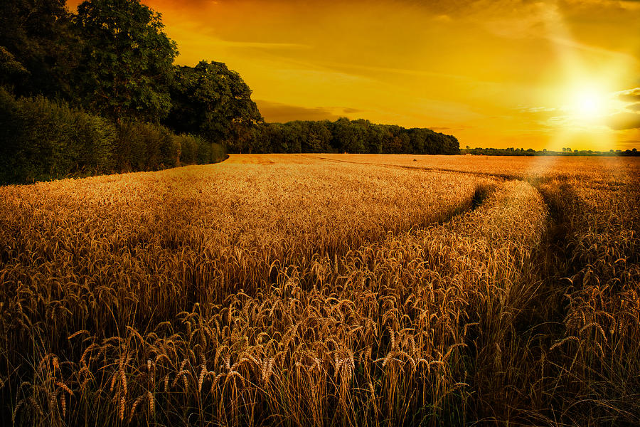 Late Fall Iphone Wallpaper Wheat Ripening In Late Summer Sun In Shropshire Photograph