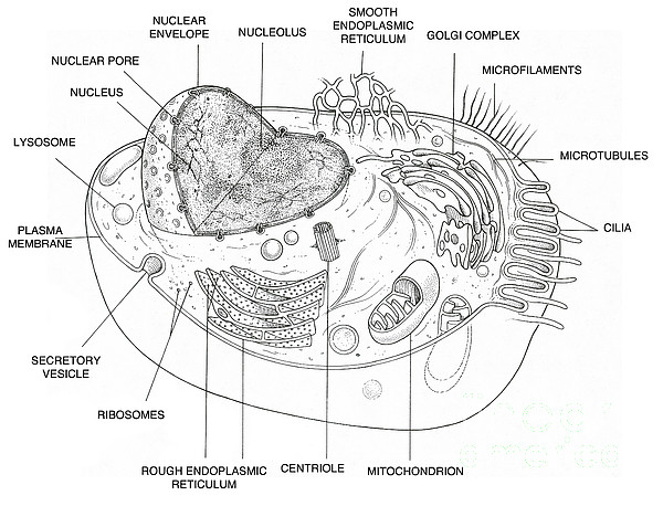 lysosome diagram