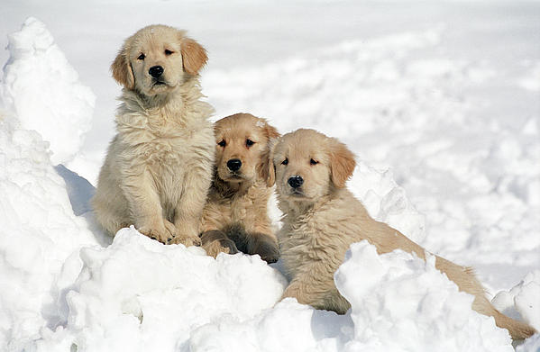Shiba Inu Cute Desktop Wallpaper Golden Retriever Puppies In Snow Greeting Card For Sale By