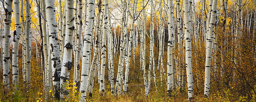 Michigan Fall Colors Wallpaper Aspen Tree Grove Photograph By Ron Dahlquist Printscapes