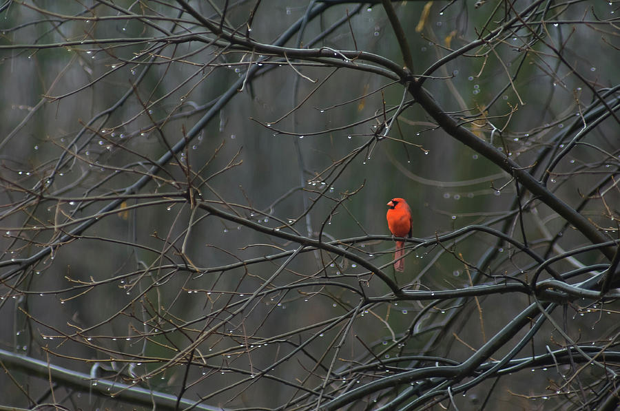 Winter Wallpaper For Iphone 4 Cardinal In End Of Winter Rain Photograph By James Oppenheim