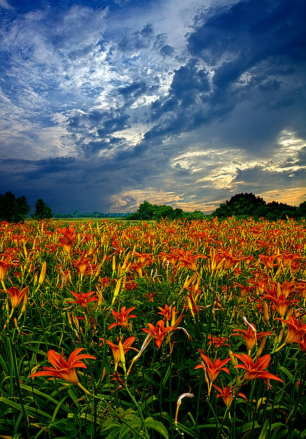 Chargers Iphone Wallpaper Field Of Lilies Photograph By Phil Koch
