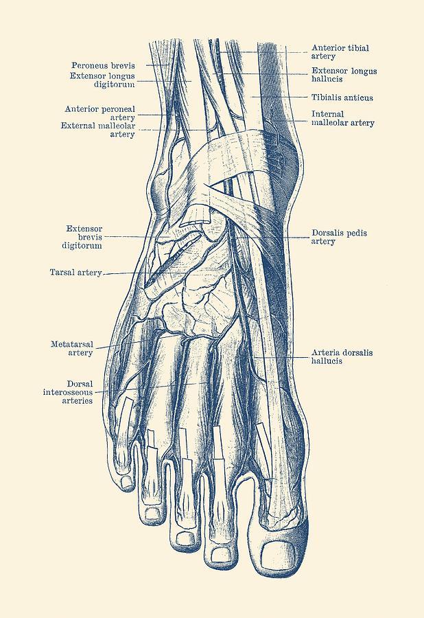 Human Foot Diagram Wiring Diagram