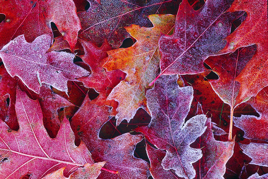 Fall Beach Widescreen Wallpaper Frosted Red Oak Leaves Photograph By Tony Beck