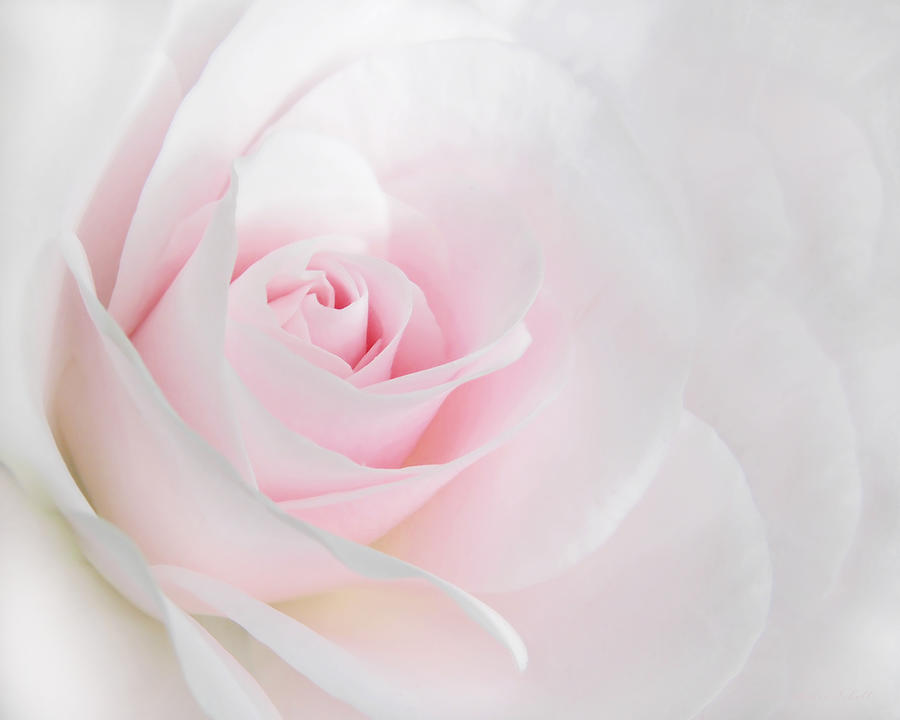 Floral Wallpaper For Iphone 5 Heaven S Light Pink Rose Flower Photograph By Jennie Marie