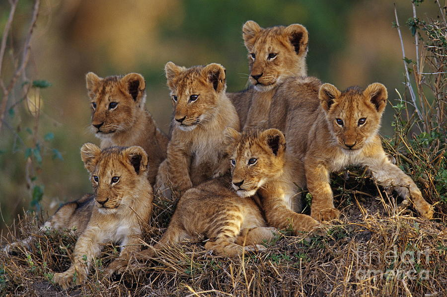 Wallpaper Hd Iphone Cute Men Lion Cubs Photograph By Joe Mcdonald And Photo Researchers