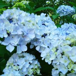 Pastel Blue Hydrangea Flowers Green Garden Floral Photograph By