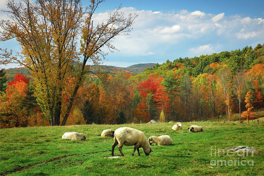 New England Fall Wallpaper Free Pasture New England Fall Landscape Sheep Photograph By