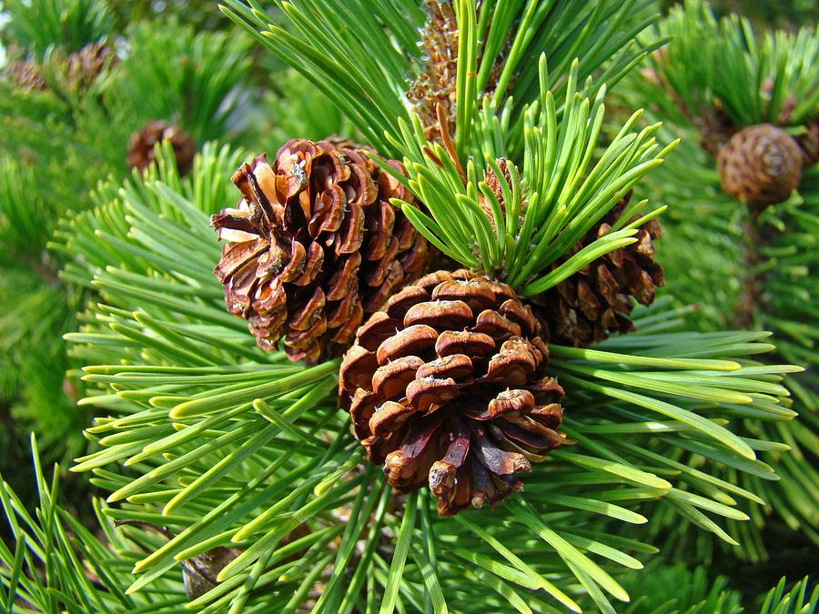 Fall Outdoor Decorations Wallpaper Pine Tree Art Prints Pine Cones Green Forest Baslee