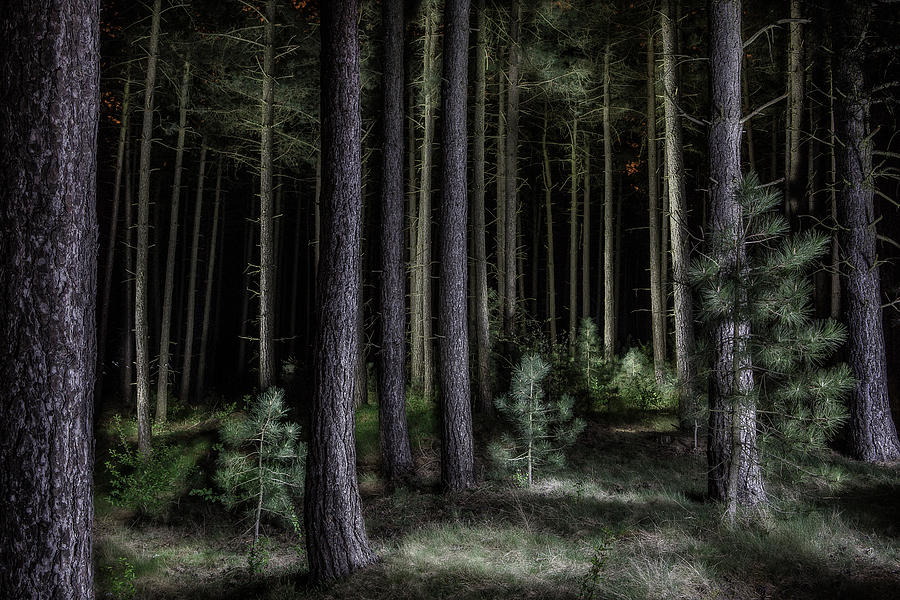 Forest Iphone Wallpaper Pine Tree Forest At Night Photograph By Dirk Ercken