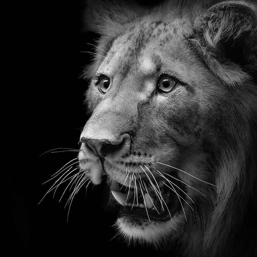 Angry Lion Wallpaper Hd 1080p Portrait Of Lion In Black And White Ii Photograph By Lukas