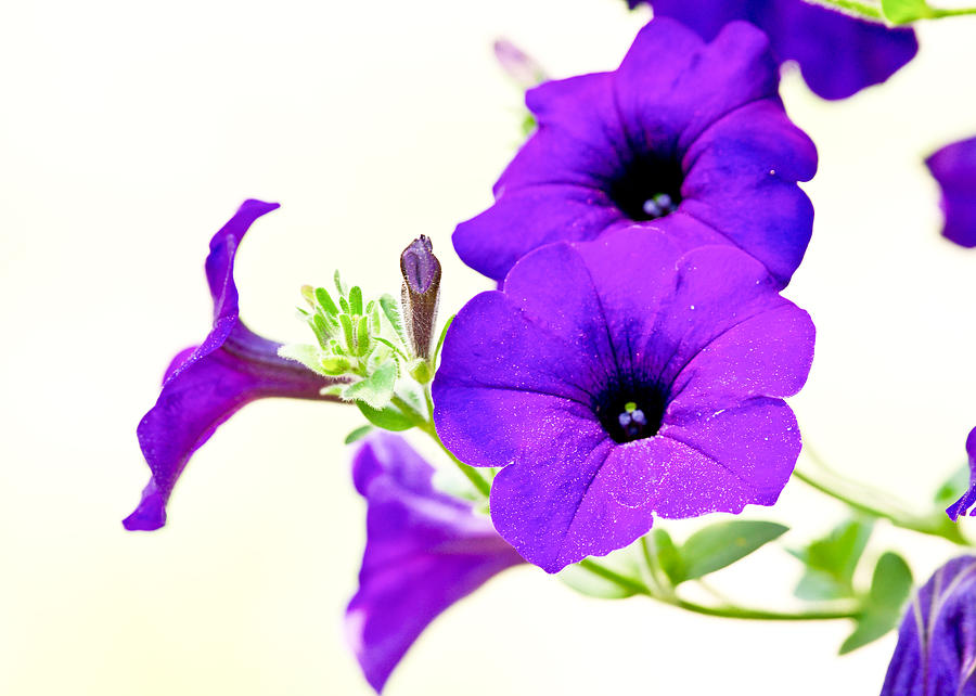 Floral Print Iphone Wallpaper Purple Flowers On Light Background Photograph By Edward Myers