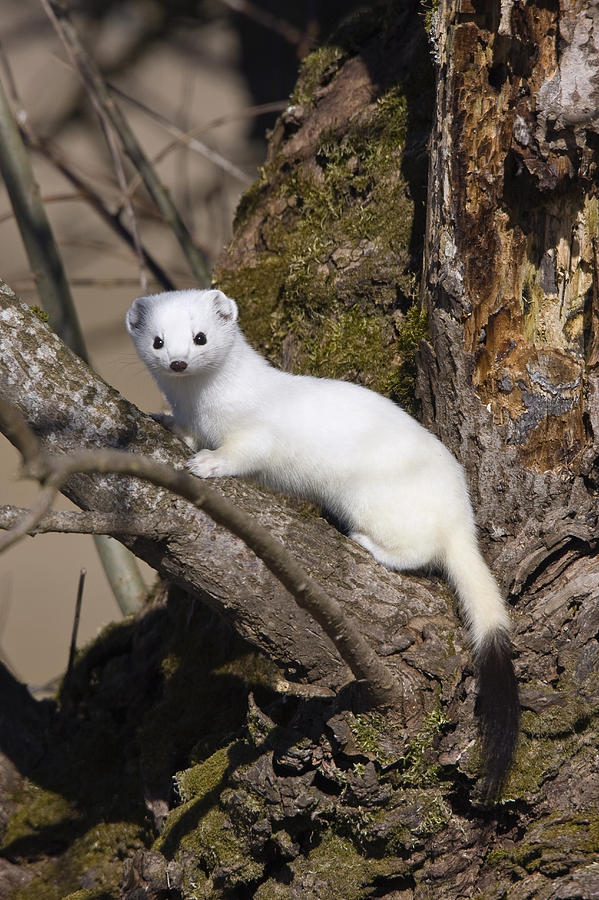 Ferret Wallpaper Iphone Short Tailed Weasel Mustela Erminea Photograph By Konrad Wothe