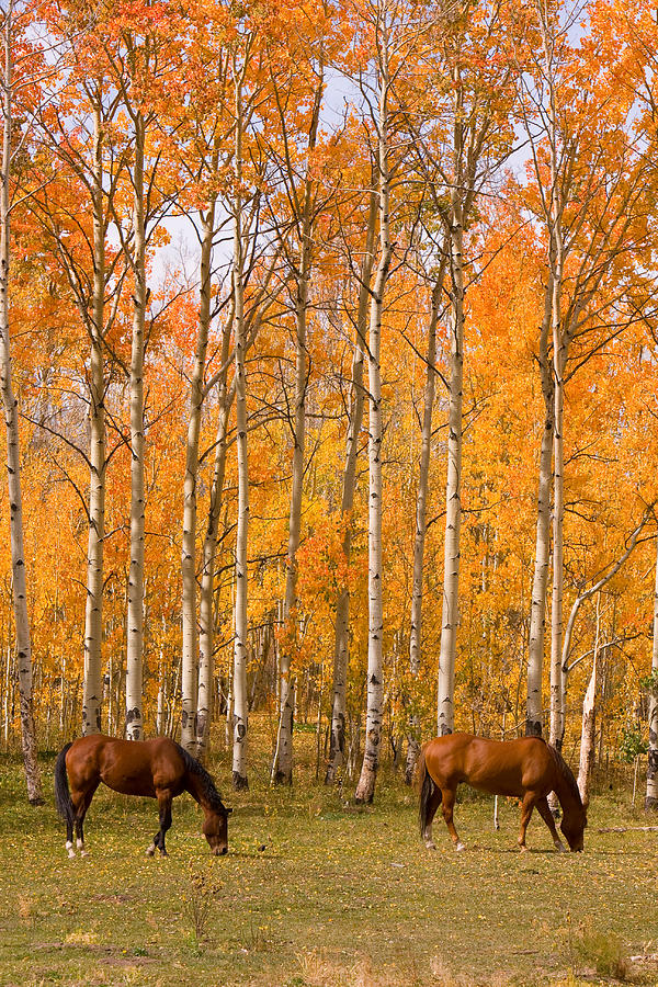 Fall Colors Mobile Wallpaper Two Colorado High Country Autumn Horses Photograph By