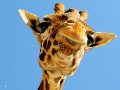 21+ Giraffe Wallpapers, Backgrounds, Images | FreeCreatives