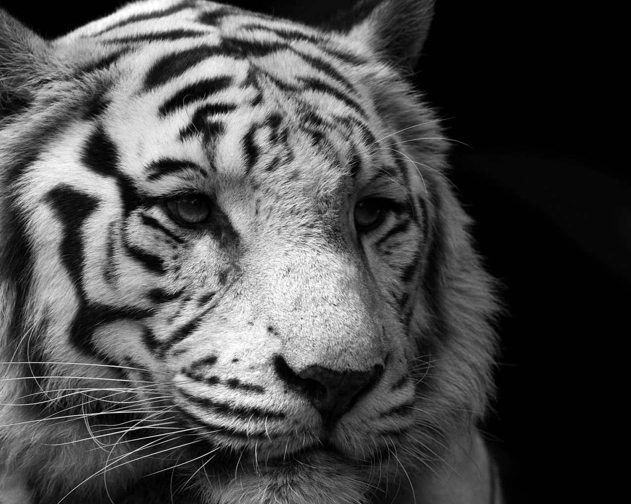 Free 3d Tiger Wallpaper 21 Animal Wallpapers Backgrounds Images Freecreatives