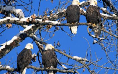 20+ Eagle Wallpapers, Backgrounds, Images | FreeCreatives