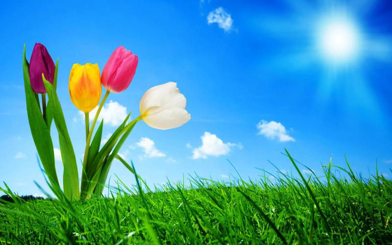 Wallpapers Hd Animated 3d Moving Hd Tulips Amp The Blue Sky Wallpaper Download Free 86506