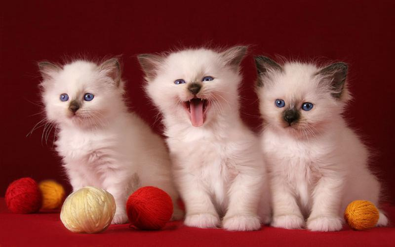 Desktop Wallpaper Hd 3d Full Screen Baby Hd 3 Cute Kittens Wallpaper Download Free 118635