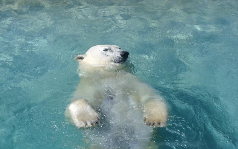 Free Animated Snow Fall Wallpaper Hd Polar Bear Swimming Wallpaper Download Free 108650