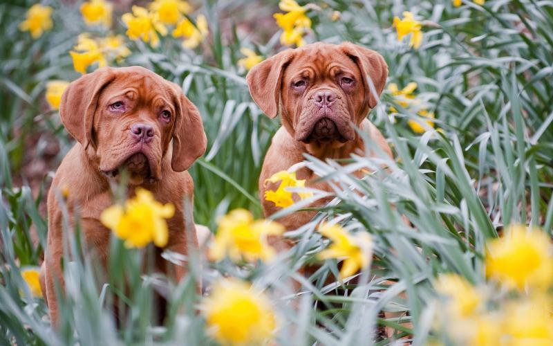 Cute Merry Christmas Wallpaper Dogs Hd Two Dogs Mastiffs Daffodils Wallpaper