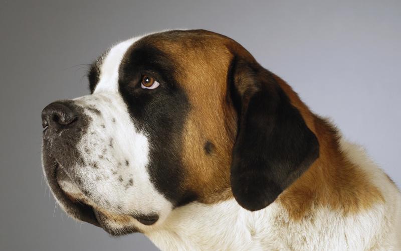 Cute Merry Christmas Wallpaper Dogs Hd Beethoven St Bernard Dog Wallpaper Download Free