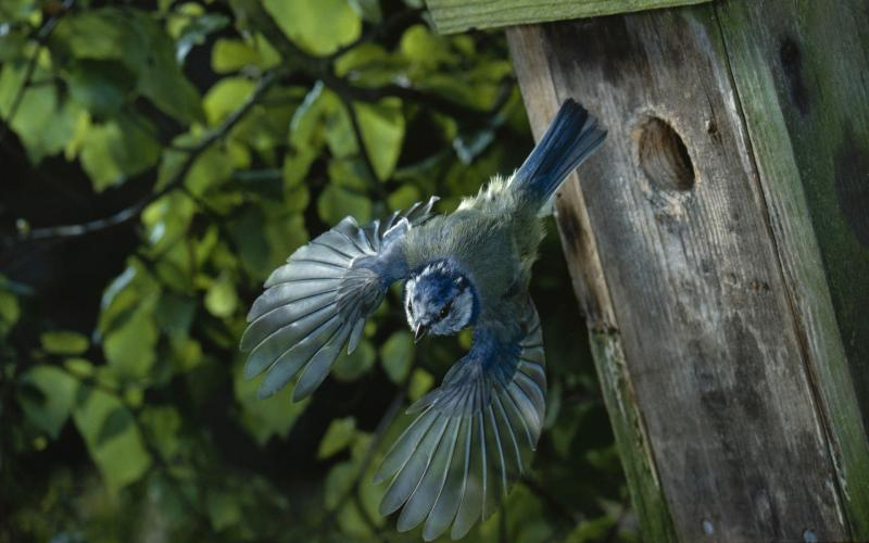 Animated Christmas Tree Wallpaper Hd Blue Jay Starting Out Of His Birdhouse Wallpaper