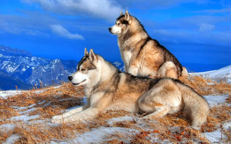 Moving Wallpapers For Girls Hd Pair Of Wolves Wallpaper Download Free 123125