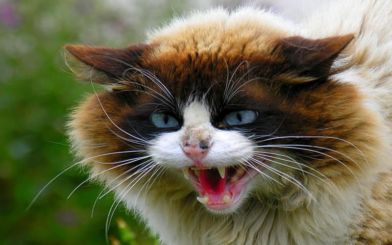 Cute Cats And Dogs Hd Wallpapers Hd Very Angry Cat Wallpaper Download Free 113093