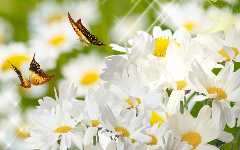 Cute Animated Merry Christmas Wallpaper Hd A Field Of Daisies Wallpaper Download Free 61332