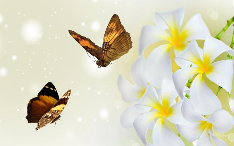 Cute Butterflies Hd Wallpapers Hd Frangipani Fine Wallpaper Download Free 51008