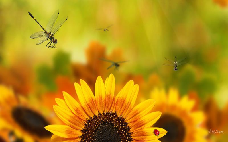 Background Wallpaper Hd Fall Fog Hd Funflower Sunflowers Wallpaper Download Free 58524